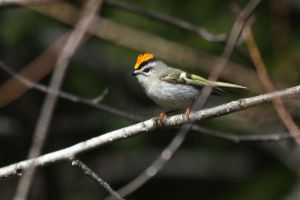 Golden-crowned Kinglet by stubirdnb