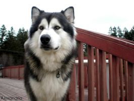 Kayuh - Alaskan Malamute by StrawberryCupkake