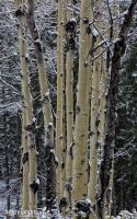 Winter Aspens by mjohanson