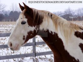 Paint Horse 66 by EquineStockImagery