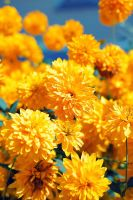 yellow florets by Ifispirit