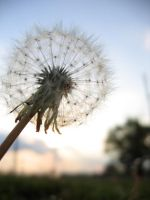 Typical Dandelion Shot by mynameissparks