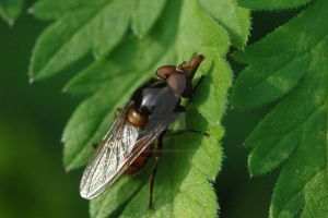 Hoverfly by oliverporter3