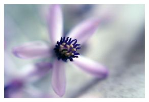 Purple Star by sayra