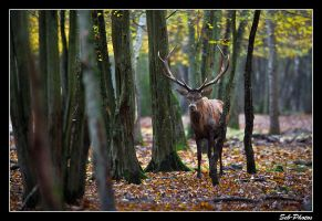 Autumn picture - deer in the wild #2 by Seb-Photos