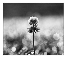 Farewell cottonflower by cameraflou