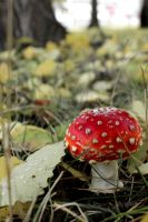 Amanita muscaria by LiisaP