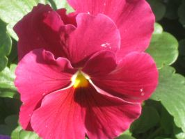 21516 Red Pansy by crazygardener