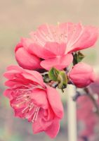 December Peach blossoms by Lodchen-Photography