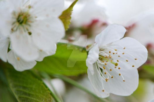 Apple blossoms by MMalonephotography
