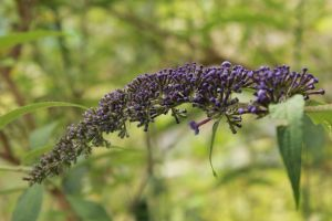 Butterfly Bush Buds by Laur720