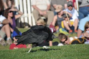 Vulture - 1 by Silver-Stock-Images
