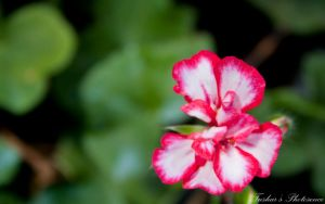 Pink Delight by TusharBoss