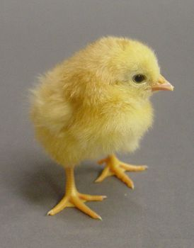 Fluffy chick stock 1 by InKi-Stock