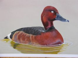 Close up of Ferruginous Duck Painting by CVDart1990