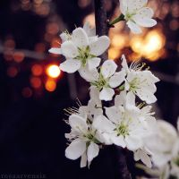 Sunset blossom by rosaarvensis