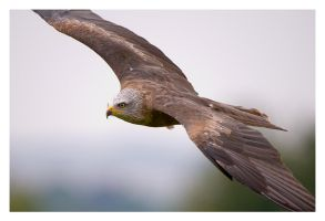 Black Kite Gliding by Neutron2K