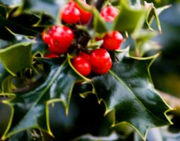 Christmas Holly by rosscaughers