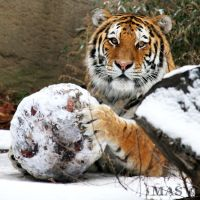 Amur Tiger_0186 by MASOCHO