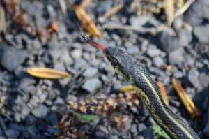 Common Garter Snake tasting the air. by GuillaumGibault