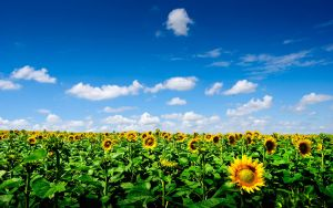 Sunflower field by mxmbulat