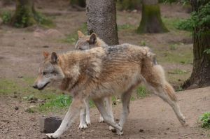 Graywolf 6 by Lakela