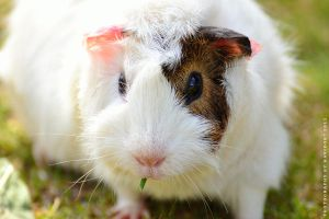 Guinea Pig by Havidor