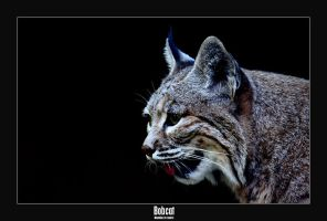 Bobcat by livinginoblivion