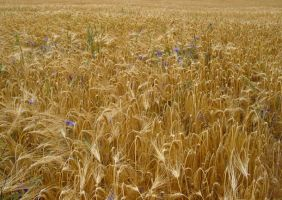 field clt.: golden barley by Germanstock