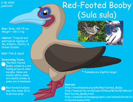 Red-Footed Booby Reference by WildLifeWarriors