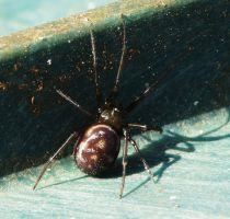 .Steatoda grossa by duggiehoo