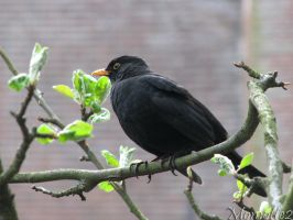 The pretty blackbird by Momotte2