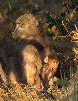 Baboons In The Morning by lenslady