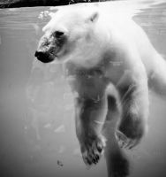 Polar Bear by Alexandre-Bordereau