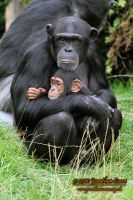 110810 Chimpanzees 4 by InsaneGelfling