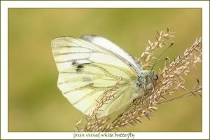 Green veined white butterfly by AngiWallace