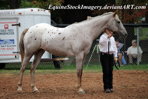 Appaloosa 26 by EquineStockImagery