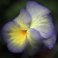 Pansy Bright by andras120