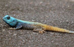 Southern Tree Agama by PhilippeduPreez
