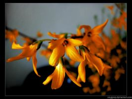 Pseudo-orange flowers by oxygenp