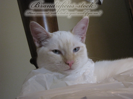 princess sugar the cat by brandrificus-stock