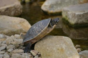 Turtle V by expression-stock