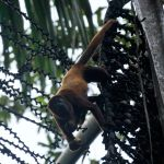 Red Howler Monkey 1 by wildplaces