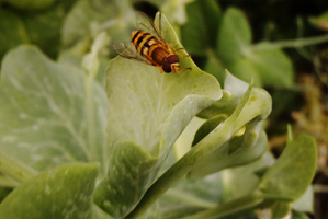 A hover fly by TomRolfe