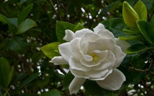 White Gardenia by StarwaltDesign