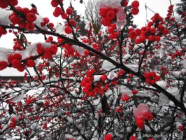 Red berries by Moonbird9