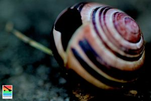 solitary snail shell by mominomi