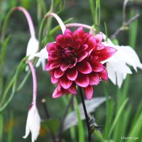 Dahlia sur Virginite II by hyneige
