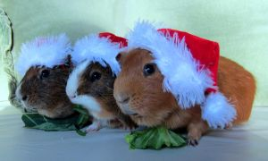 guinea pigs in Christmas hats by alwaysislifetime