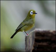 Kikuyu White Eye by Wild-Soul